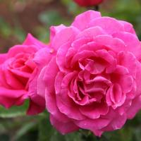 Nature's perfect rose is blessed at the Urban Garden Center in Pearl City (4/12/