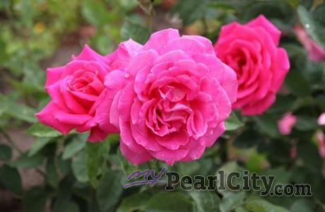 Potted Rose Sale this weekend at Second Saturday at the Garden in Pearl City