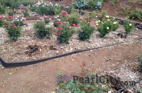 Newly-Planted Roses Stolen Out of the Ground at the Urban Garden Center.